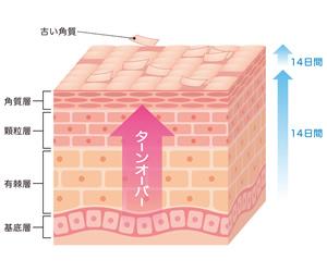 角質層の構造